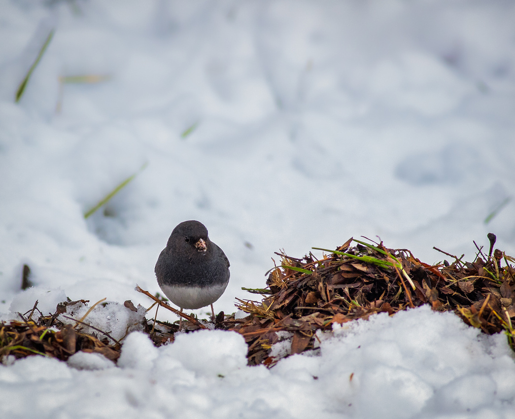 Dark-eyed Junco Found a Patch to Feed