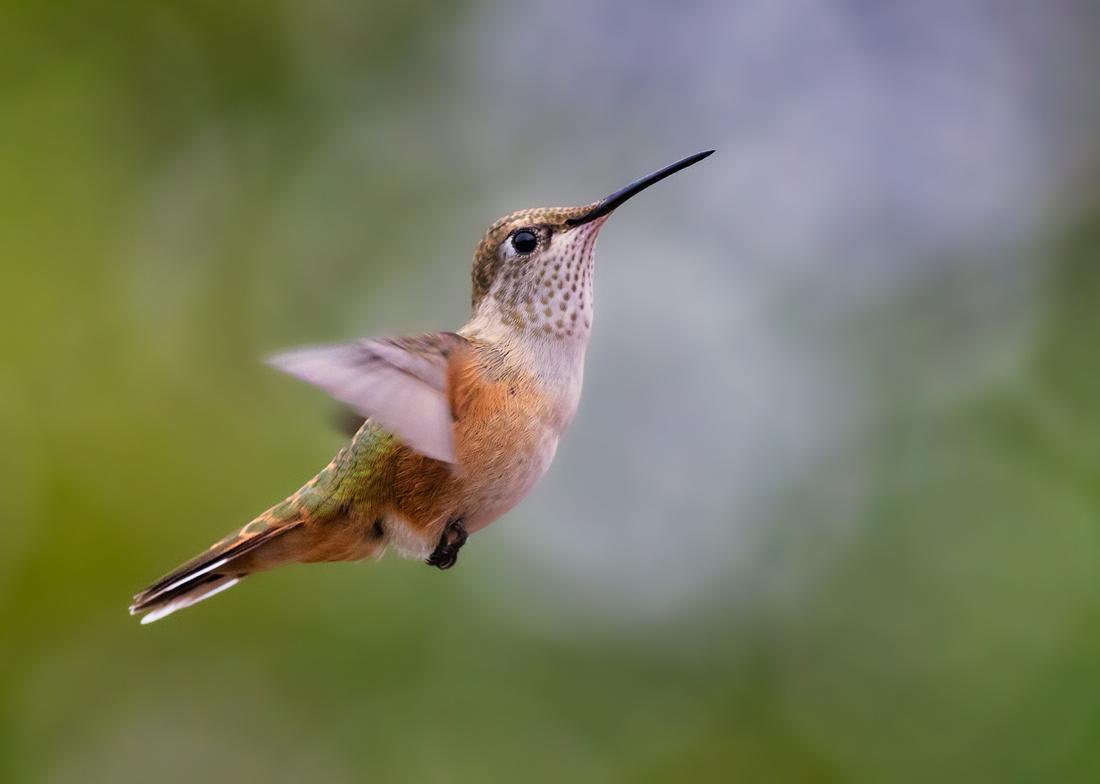 Broad-tailed Hummingbird-4