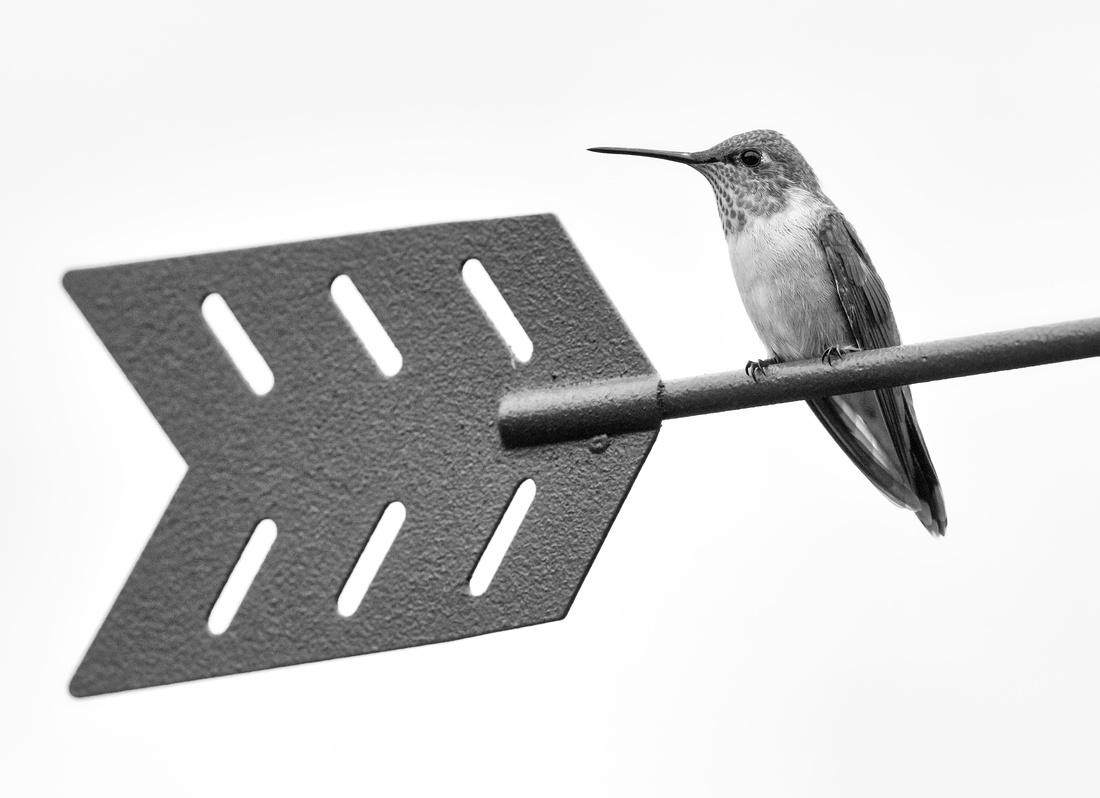 Broad-tailed Hummingbird-2
