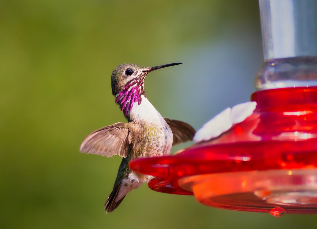 Calliope Hummingbird-2