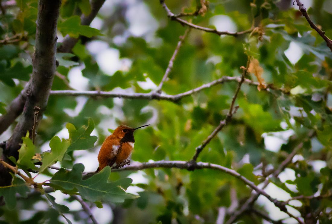 Rufous Hummingbird-4
