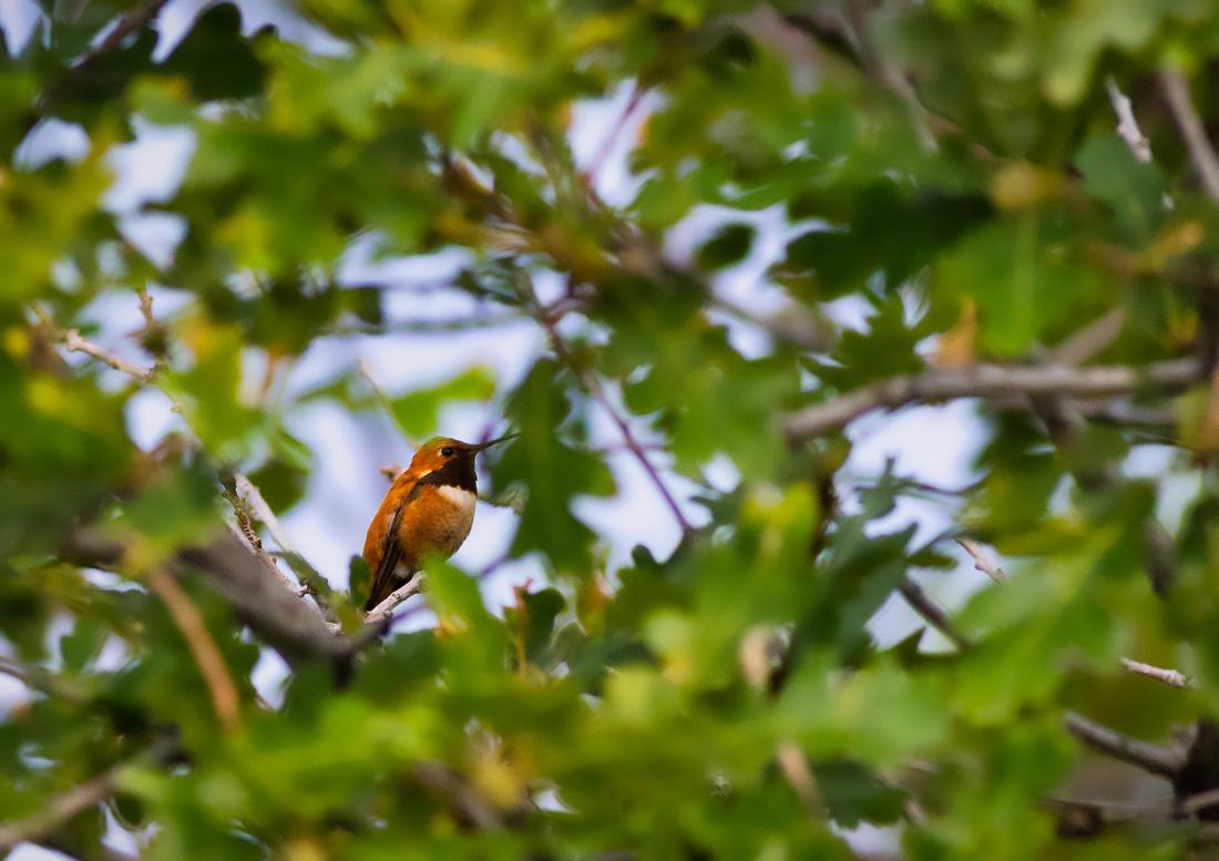 Rufous Hummingbird-3