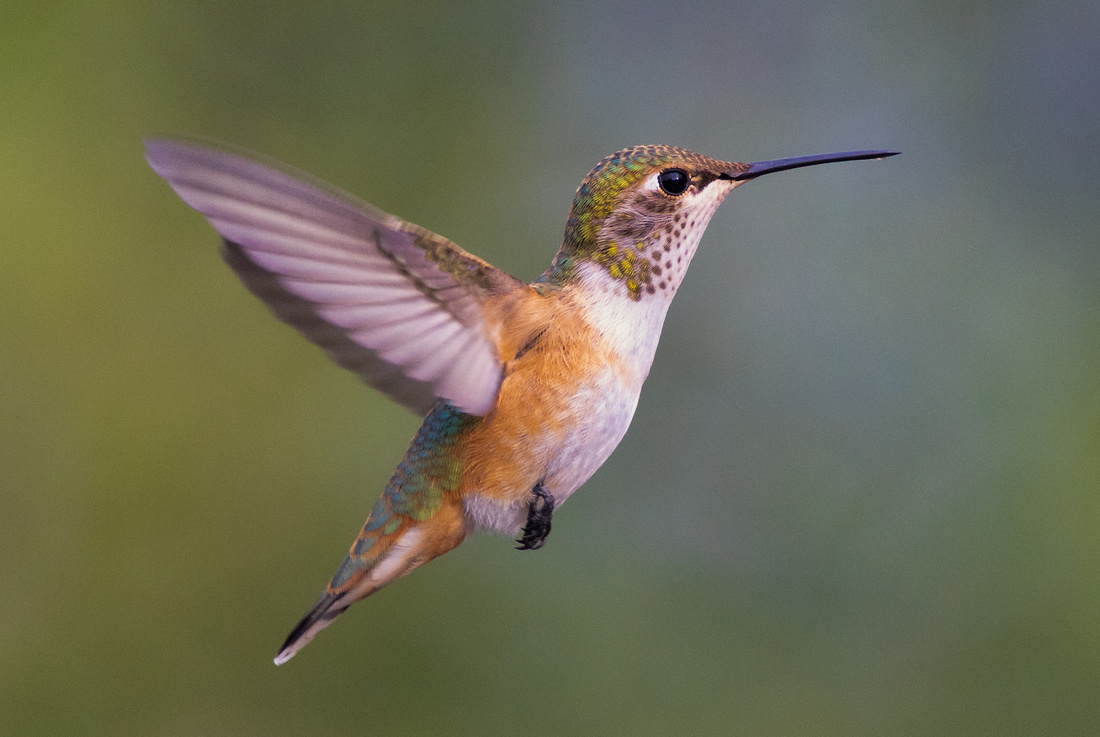 Broad-tailed Hummingbird-13