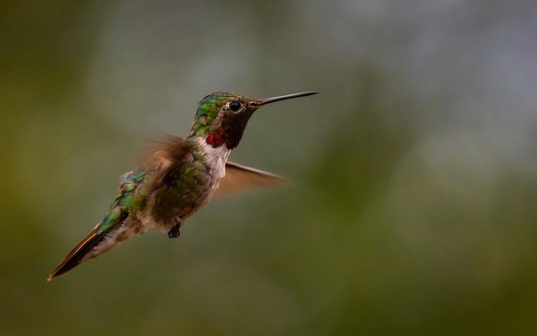 Broad-tailed Hummingbird-15