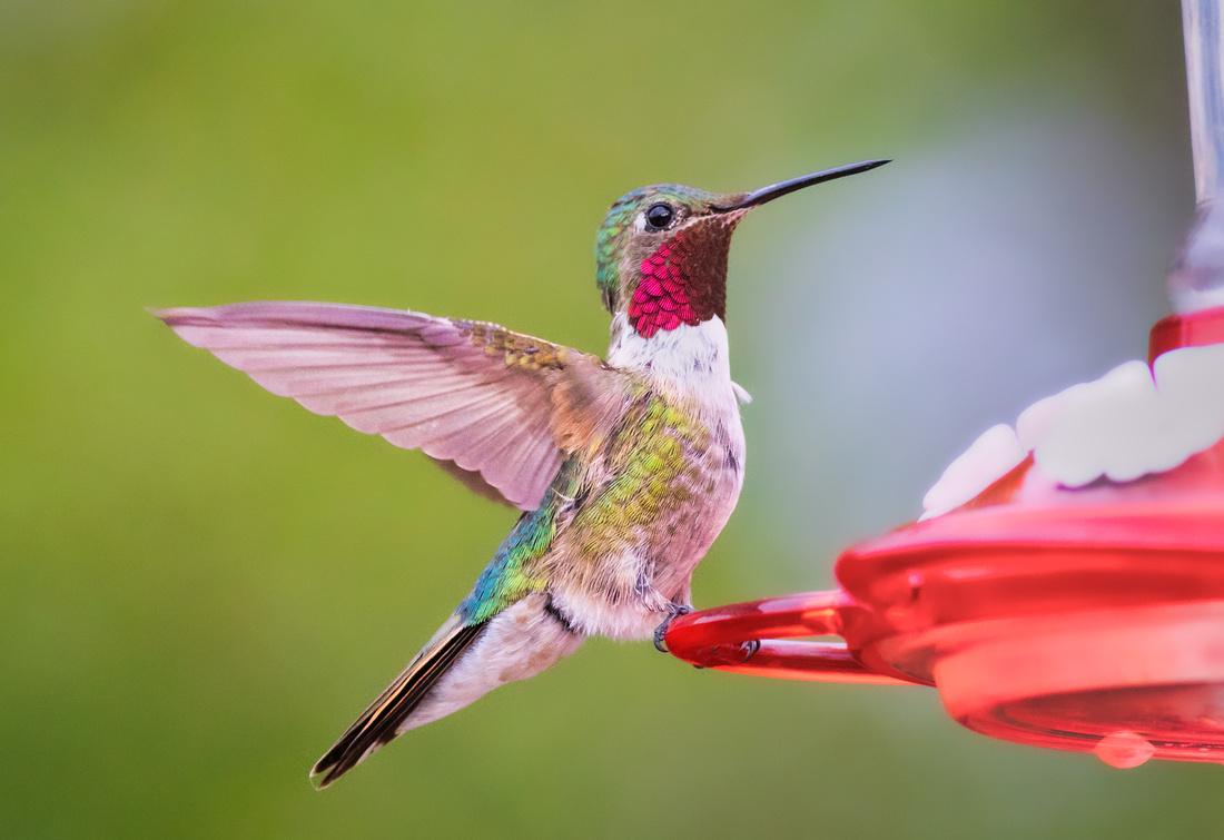 Broad-tailed Hummingbird-11
