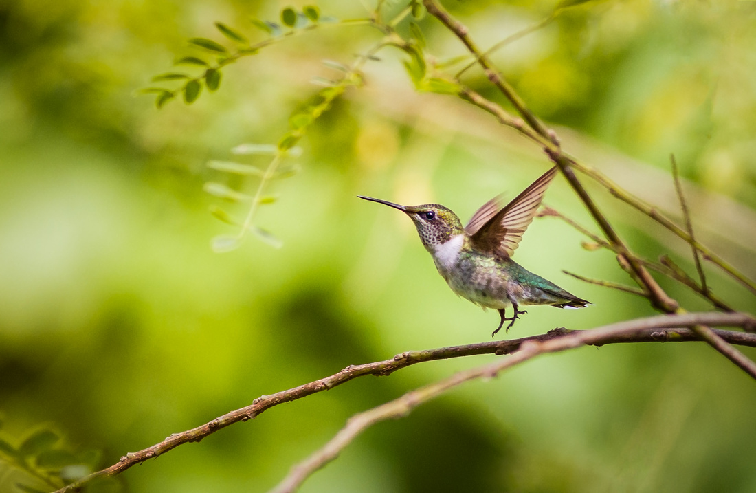 Ruby-throated Hummingbird Liftoff