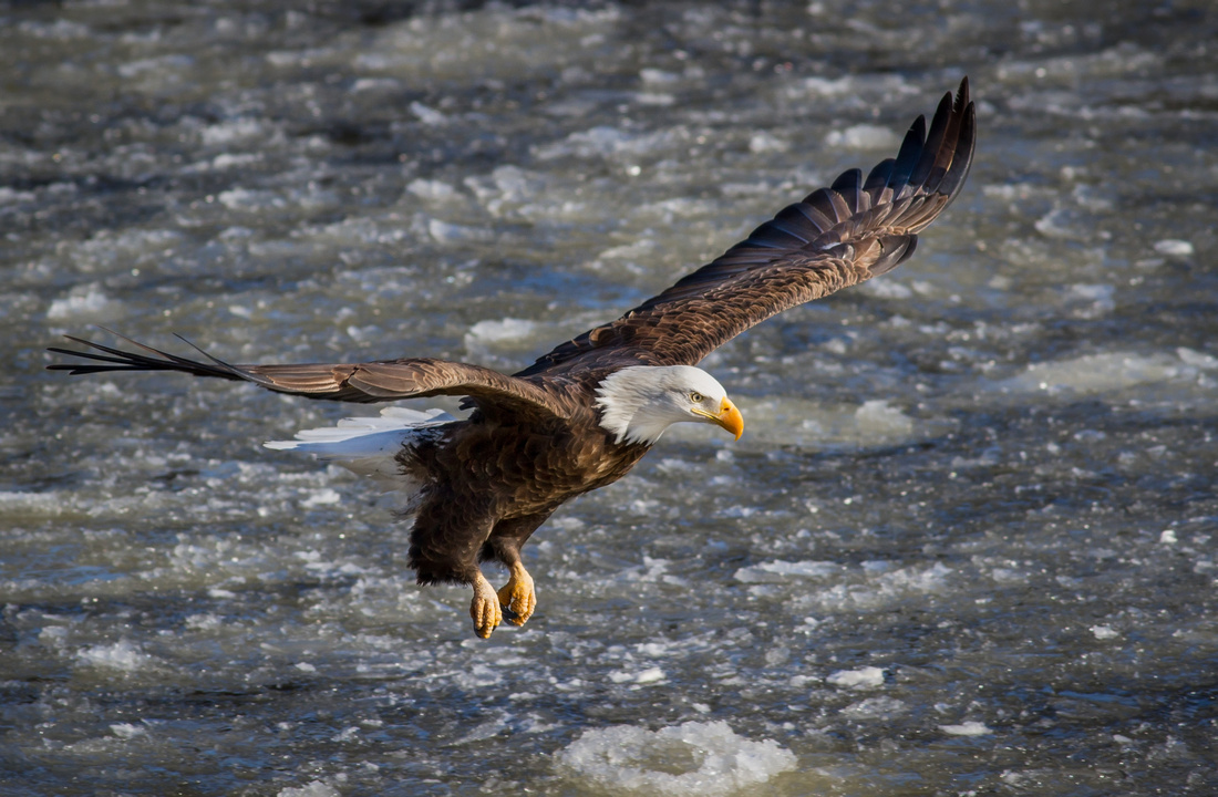 Eagle Sailing over the Icy Mississippi