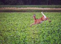 Leaping Midwest Whitetail