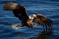 American Bald Eagle in Action