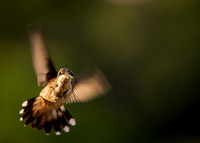 Magic Hour Hummingbird