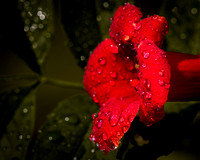 Trumpet Vine in the Rain