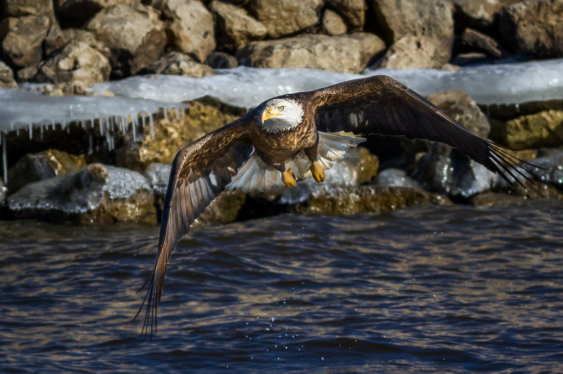 Eagle Diving Along the Banks of the Mississippi