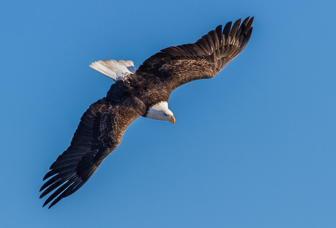 Eagle Diving in Blue Skies