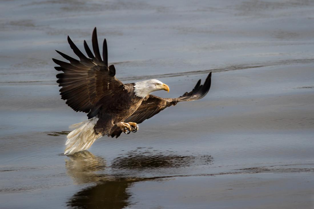 1st Bald Eagle Image of 2017 001