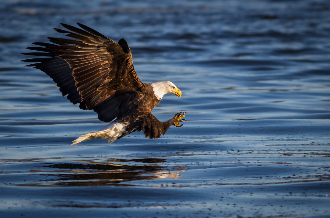 Low Perspective of an Eagle Fishing