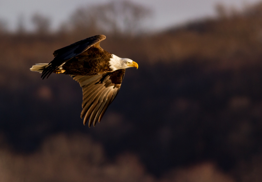 Golden Hour Light on an Eagle