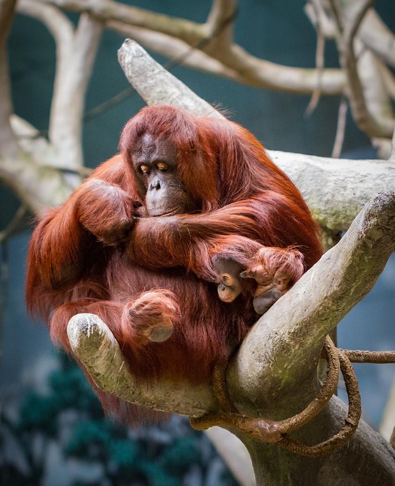 Peek-A-Boo Orangutan