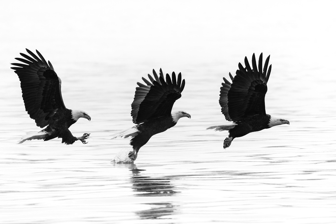 Eagle Fishing Sequence on a Foggy Day