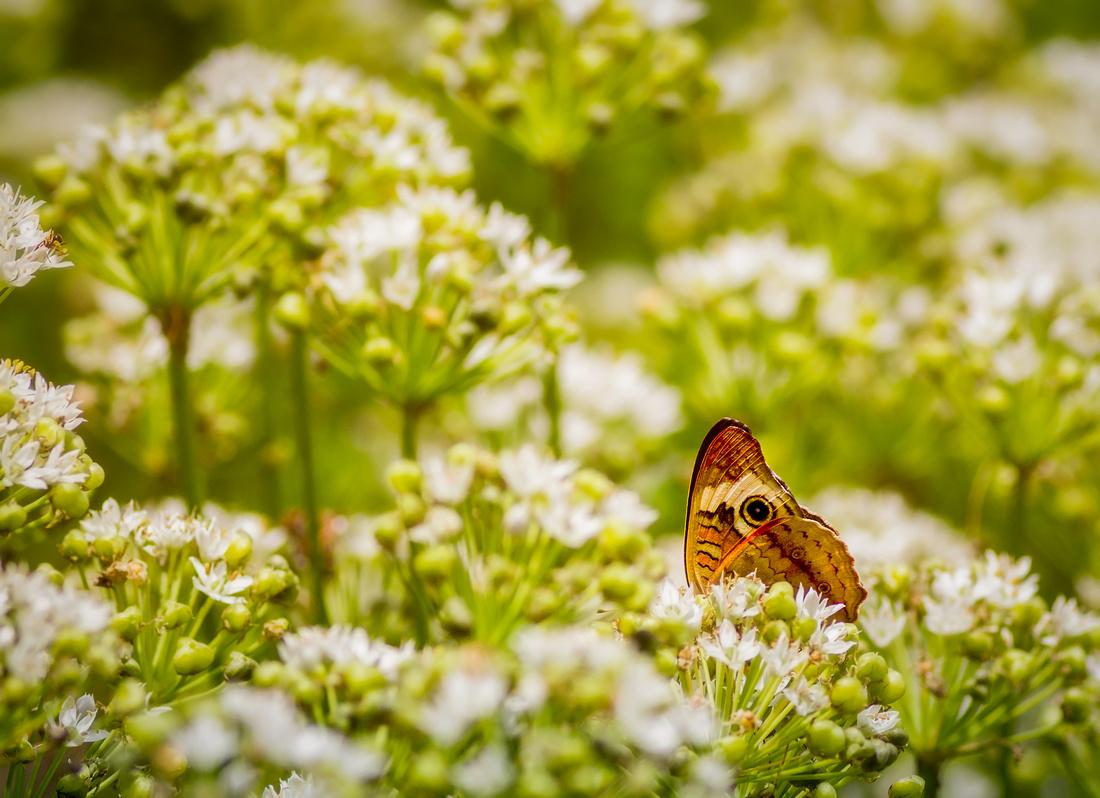 Peering Wings of a Common Buckeye Butterfly