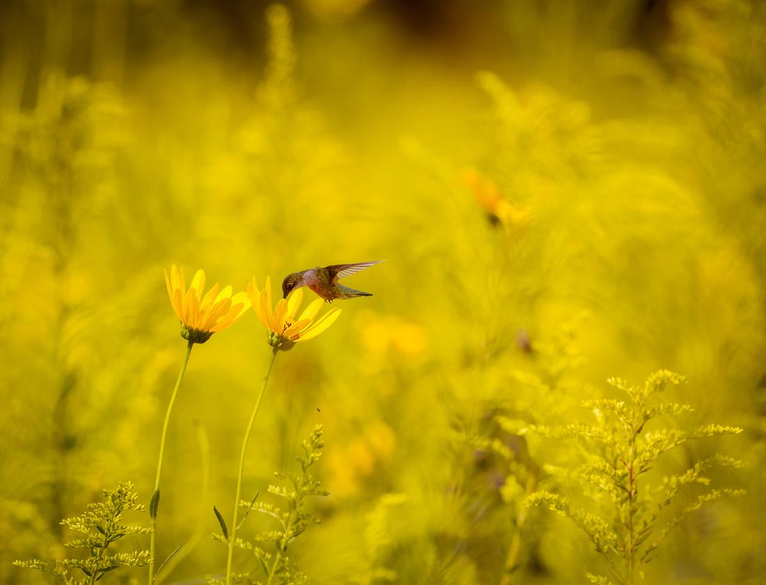 Hummingbird in a Golden Wonderland