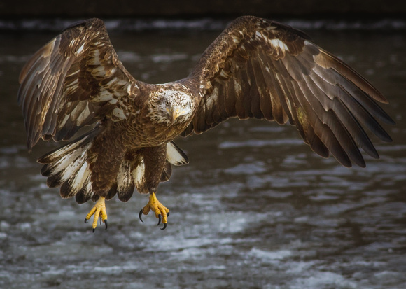 A Powerful Glance from a Juvenile Eagle