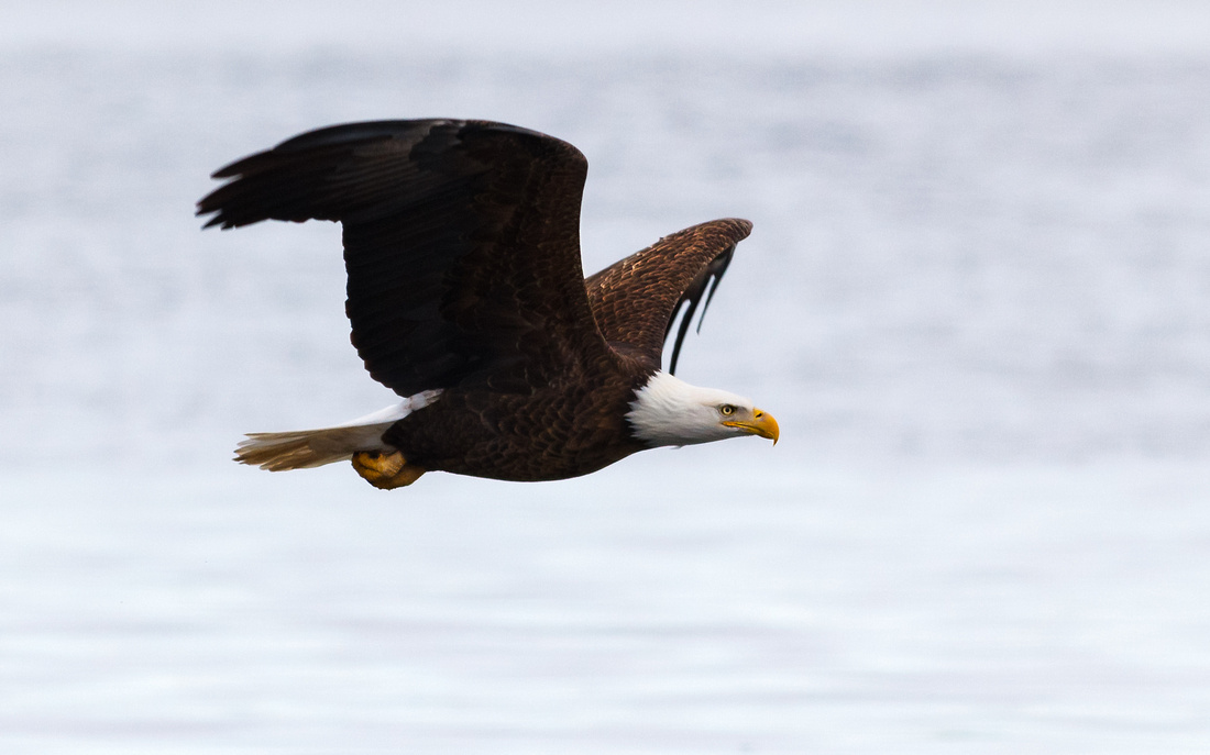 Stunning Eagle Flyby