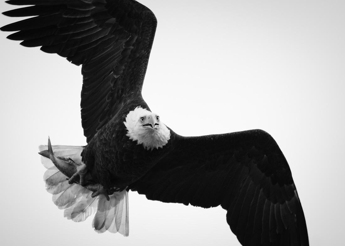 Eagle Jaw Drop