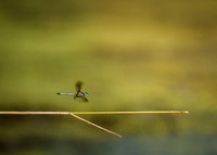 Dragonfly in Motion