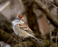 Curious American Tree Sparrow