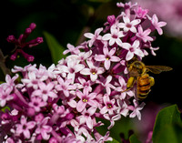 Bee on a Lilac
