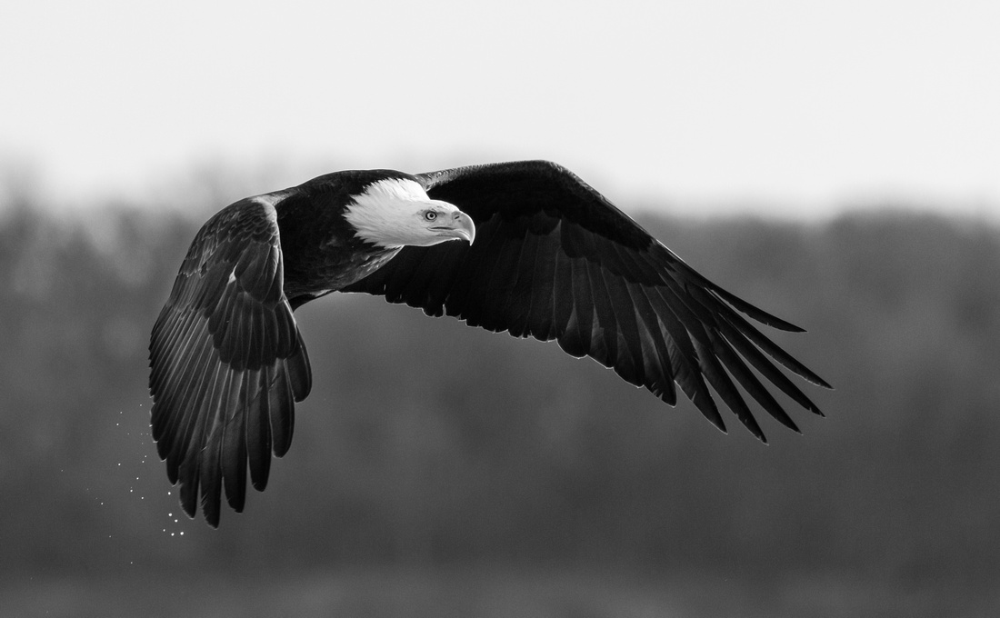 Powerful Eagle Black and White