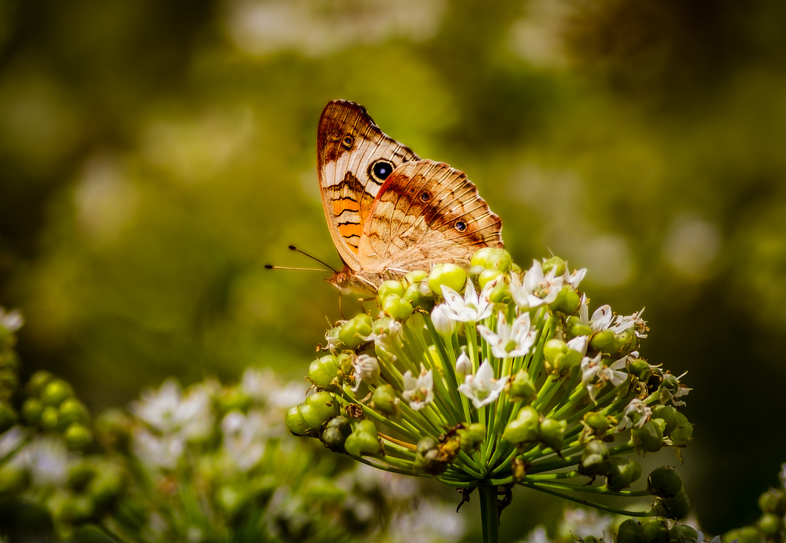 Common Buckeye Butterfly in Warm Light