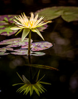 American Water Lily